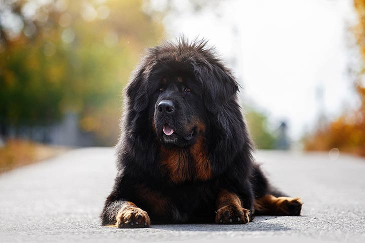 https://www.akc.org/dog-breeds/tibetan-mastiff/